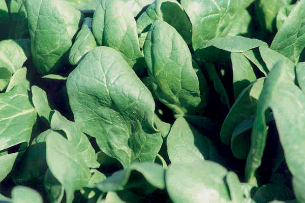 """7-Green """"Improved"""" F1 Hybrid Spinach Seeds"""