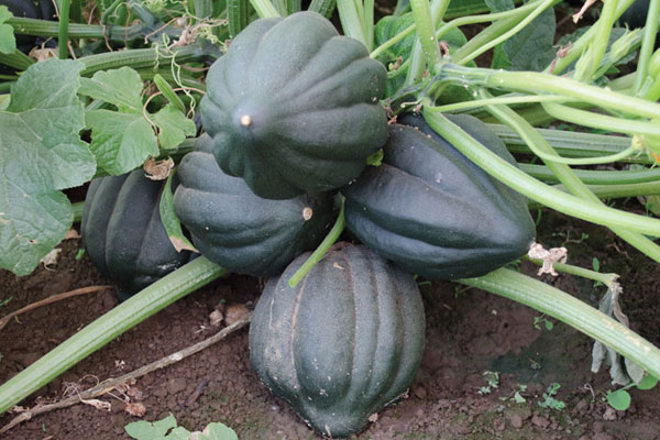Black Bellota F1 Hybrid Acorn Type Winter Squash Seeds