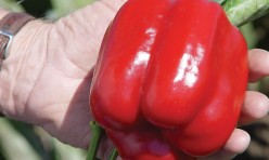 Cougar F1 Hybrid Bell Pepper Seeds