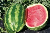 Crimson Queen F1 Hybrid Diploid Watermelon Seeds