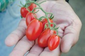 Dolce Vita F1 Hybrid Indeterminate Grape Shape Tomato Seeds