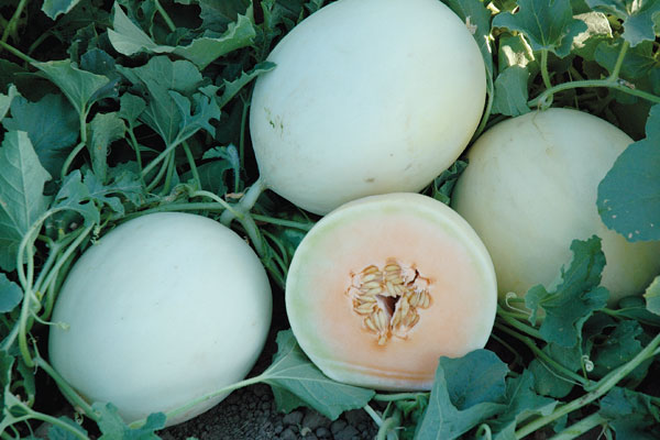 Double Dew F1 Hybrid Honeydew Melon Seeds