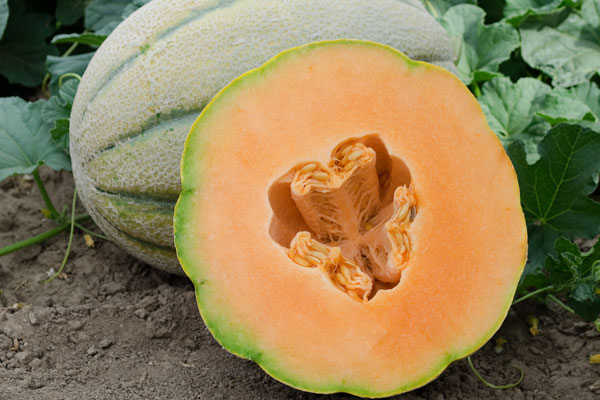 El Gordo F1 Hybrid Tuscan Type Cantaloupe Seeds Sunrise Seed Inc Inspired Commercial Hybrid Vegetable Seeds For Professional Growers Next time you use a cantaloupe, try it yourself! sunrise seed inc