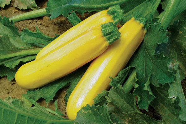 Golden Girl F1 Hybrid Yellow Zucchini Summer Squash Seeds