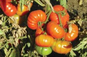 Grandma's Little Girl F1 Hybrid Indeterminate Heritage Tomato Seeds