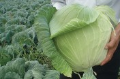 Harvest Mist F1 Hybrid Cabbage Seeds