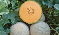 Infinito F1 Hybrid Long Shelf Life Cantaloupe Seeds