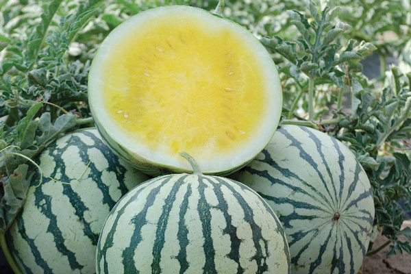 Lemon Ice F1 Hybrid Triploid Watermelon Seeds