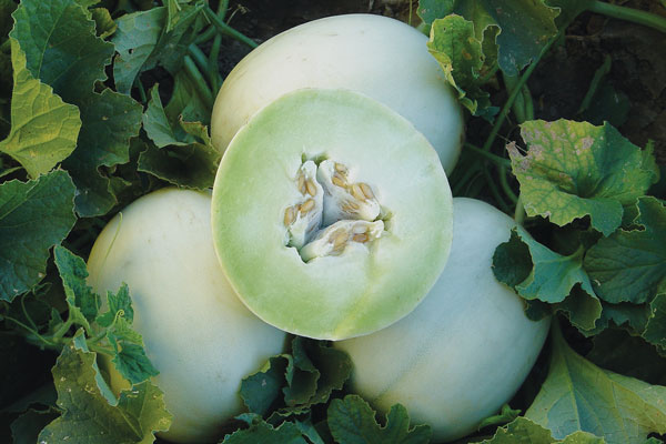 Morning Dew F1 Hybrid Honeydew Melon Seeds