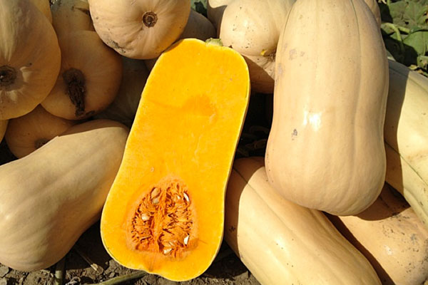 Narragansett F1 Hybrid Butternut Winter Squash Seeds