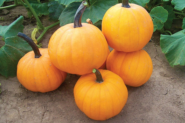 Neon Moon F1 Hybrid Pumpkin Seeds