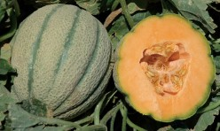Orange Sherbet F1 Tuscan Type Cantaloupe Seeds