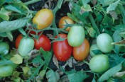Patty F1 Hybrid Determinate Roma/Saladette Tomato Seeds