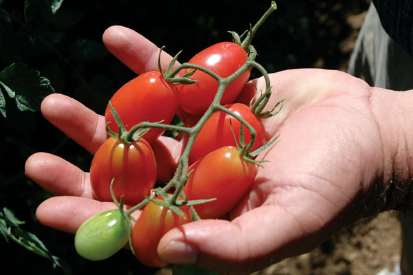 Pink Beauty F1 Hybrid Indeterminate Cherry Tomato Seeds