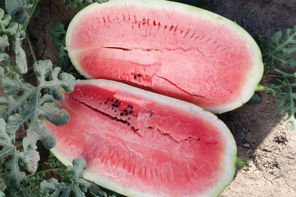 Plantation Pride F1 Hybrid Diploid Watermelon Seeds