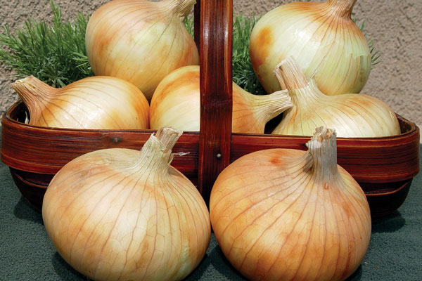 Pumba F1 Hybrid Yellow Onion Seeds