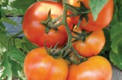 Red Boar F1 Hybrid Indeterminate Tomato Seeds