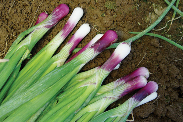 Red Bunching F1 Hybrid Salad/Bunching Onion Seeds