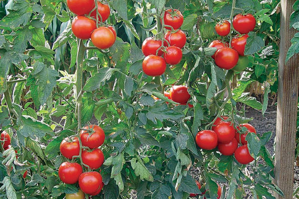 Red Eclipse F1 Hybrid Indeterminate Cluster Tomato Seeds