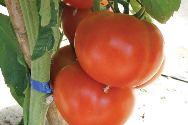 Red Planet F1 Hybrid Indeterminate Tomato Seeds