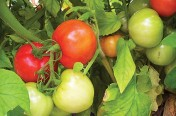 Red Ripe F1 Hybrid Determinate Tomato Seeds