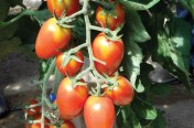Red Scorpion F1 Hybrid Indeterminate Cherry Tomato Seeds