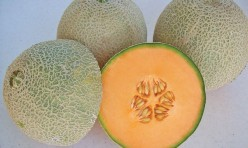 Sante F1 Hybrid Long Shelf Life Cantaloupe Seeds