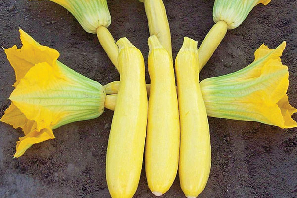 Sligo F1 Hybrid Yellow Zucchini Summer Squash Seeds