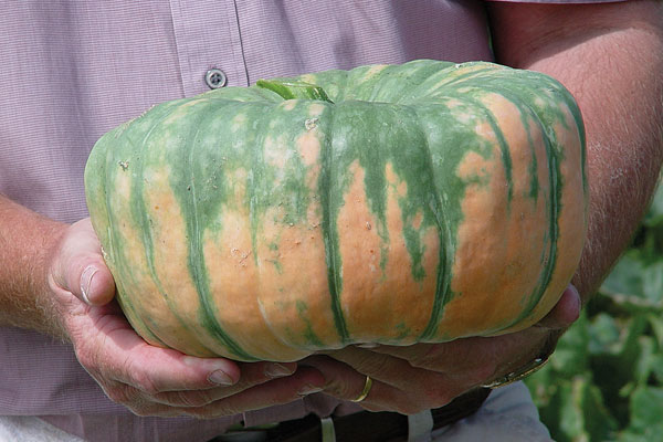Speckled Hound F1 Hybrid Maxima Type Winter Squash Seeds