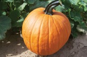 Scream II F1 Hybrid Pumpkin Seeds