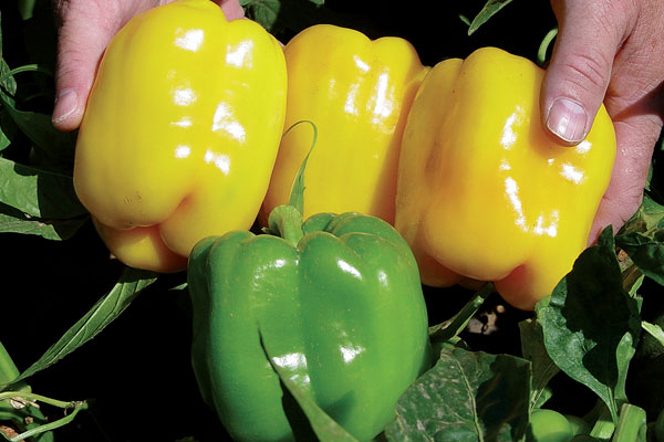 Tabby F1 Hybrid Bell Pepper Seeds
