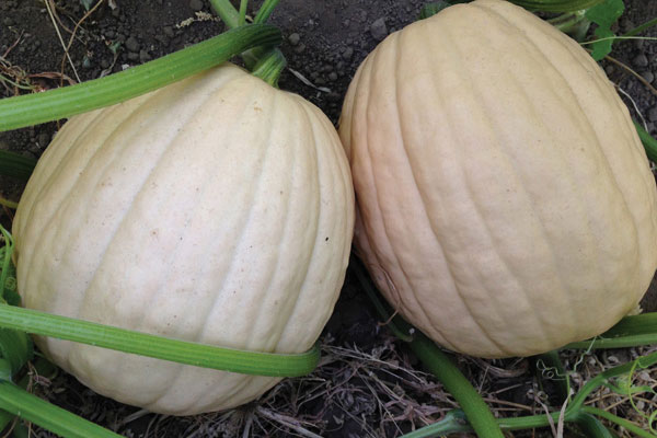 Tandy F1 Hybrid Pumpkin Seeds
