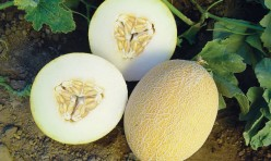 Tobago F1 Hybrid Mini Ananas Melon Seeds