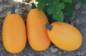 Unique F1 Hybrid Spaghetti Winter Squash Seeds