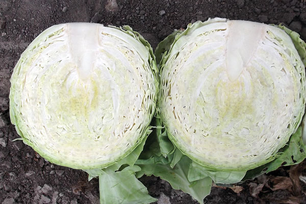 Blue Eyes f1 Hybrid Cabbage Seeds