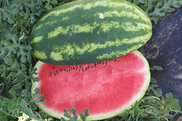 Comadre F1 Hybrid Diploid Watermelon Seeds