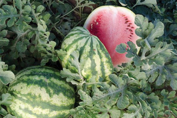 Compadre F1 Hybrid Diploid Watermelon Seeds