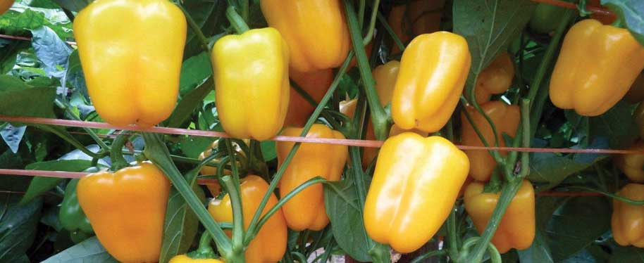 Dinky Sweet Petite Yellow Mini Bell Pepper