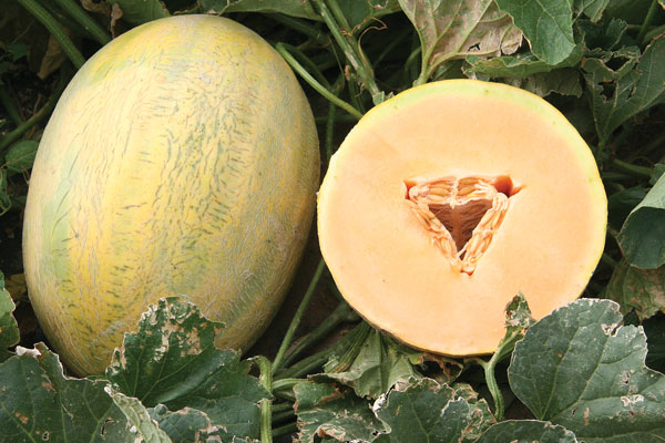 Fortune F1 Hybrid Melon Seeds