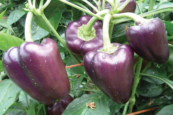 Inky F1 Hybrid Sweet Petite Mini Bell Pepper Seeds