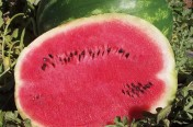 Playmate F1 Hybrid Diploid Watermelon Seeds